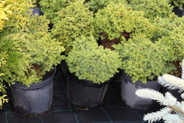 Picea abies 'Little Gem' C5