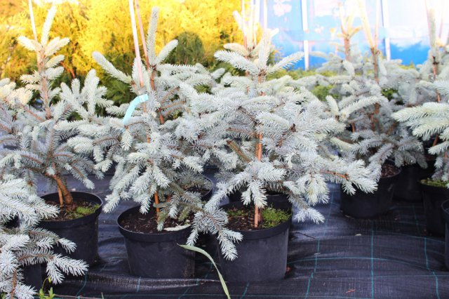 Picea pungens 'Koster'  C5