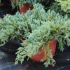 Juniperus squamata 'Blue Carpet C7,5