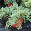 Juniperus squamata 'Blue Carpet' C7,5