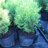 Thuja occidentalis 'Hoseri' C3 ()