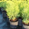 Thuja occidentalis 'Hoseri' C3()