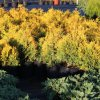 Thuja occidentalis Yellow Ribbon C7,5